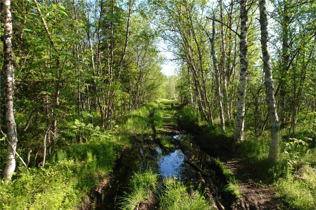 Болотистая дорога в лесу